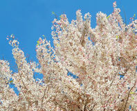 Pink white flower tree Stock Photos