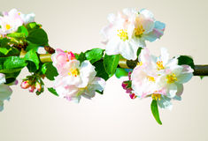Pink and white flowering blossoms of an apple tree. Stock Photo