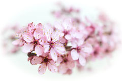 Pink and white. A flowering branch that emerges Royalty Free Stock Image