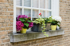 Pink and white flowering hydrangea plants on a windowsill Stock Photos