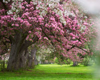 Pink and white flowering trees Royalty Free Stock Images