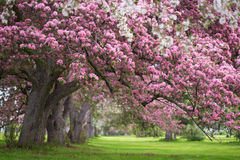Pink and white flowering trees Royalty Free Stock Image