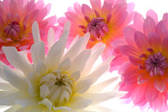 Pink and white flowers. Lit from behind Royalty Free Stock Photo