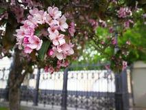 Sakura tree, cherry blossom in the park royalty free stock photo