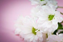 Pink and white flowers Royalty Free Stock Photos