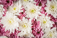 Pink and white flowers background close-up. Horizontal Stock Photo
