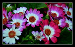 Pink and white flowers Royalty Free Stock Images