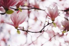 Pink or white flowers of blossoming magnolia tree Magnolia denudata in the springtime royalty free stock photo