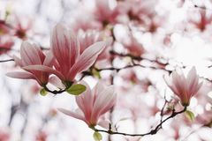 Pink or white flowers of blossoming magnolia tree Magnolia denudata in the springtime royalty free stock photography