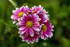 Pink And White Flowers Bouquet Chrysanthemum stock photo