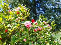 Pink and white flowers on camellia bush in spring Royalty Free Stock Photos