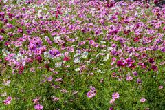 Field of Pink and White Flowers. Pink and white flowers in the field in Fredericksburg Texas Stock Photo