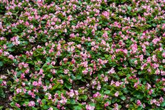Pink and white flowers in garden, filling frame. View of garden in Hongkong Park. royalty free stock images