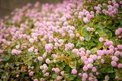 Small pink flowers in a garden. stock image