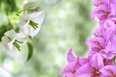 Pink and White flowers. On green background Stock Photo