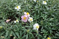 Pink and white flowers of Helianthemum. Apenninum Stock Photography