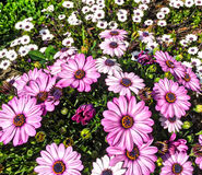 Pink and White Flowers. A lot of pink and white flowers Royalty Free Stock Photography