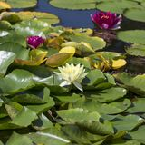 Pink and white flowers of nenuphar, Water Lily with leaves.  royalty free stock photo