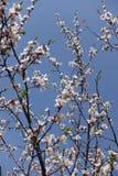 Pink and white flowers of Prunus cerasifera against blue sky. Pink and white flowers of Prunus cerasifera against the sky royalty free stock photography