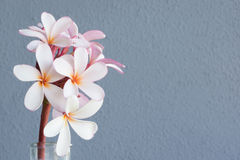 Pink and white frangipani. With blue textured wall behind space for copy Stock Photography