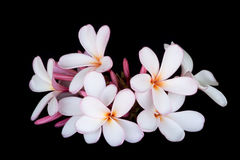 Pink and white frangipani / plumeria. Bunch of pink and white frangipani / plumeria on black background Royalty Free Stock Image