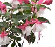 Pink And White Fuchsia Stock Photos