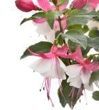 Pink And White Fuchsia Stock Photo