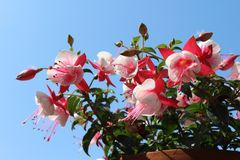 Pink and White Fuchsia in a Pot. The bright bi- colored flowers of a pink and white Fuchsia, flowering in the summertime, against a background of blue sky stock image