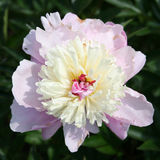 Pink and white garden peony (Chinese peony) Stock Photos