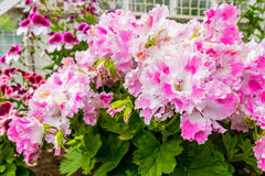 Pink and white geranium flowers, close up Royalty Free Stock Photos