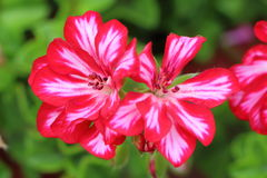 Pink and white geranium flowers stock photo
