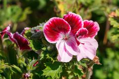 Pink and white geranium flowers in a garden royalty free stock photos