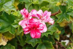 Pink and white geranium flowers. In a garden during spring stock images