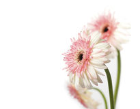 Pink and white Gerbera Daisies. Three Gerber Daisies isolated on white. Focus is on the one in the front. Space on the left for your type royalty free stock images