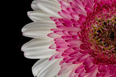 Pink & White Gerbera Flower Royalty Free Stock Photography