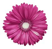 Pink-white gerbera flower, white isolated background with clipping path.   Closeup.  no shadows.  For design. Royalty Free Stock Photos