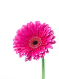 Pink and white gerbera looking upwards. On pure white background Royalty Free Stock Photos