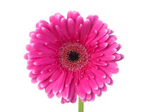 Pink and white gerbera macro Stock Photos