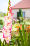 Pink and white gladiolas. Gladiolus flower branch on ornamental garden background Stock Image
