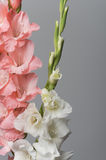Pink and White Gladiolas. On Grey Background Royalty Free Stock Images