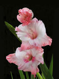 Pink and White Gladiolas Isolataed on Black Stock Images