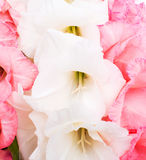 Pink and white gladiolus Royalty Free Stock Photos