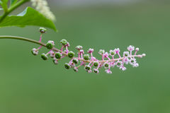 Pink white green flower starts to blossom. A pink white green flower starts to blossom Stock Image