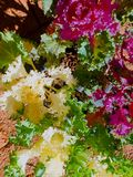 Pink, white and green Ornamental cabbage