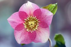 Pink and white helleborus. Beautiful pink and white helleborus flowers Stock Images