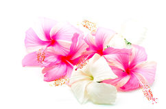 Pink and white Hibiscus Stock Photography