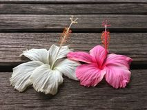 Pink and white hibiscus flower be together on wooden bridge royalty free stock photos