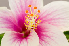 A close up macro shot of a beautiful pink and white hibiscus flo. Pink and white hibiscus flower (Malvaceae, mallow family), close up Stock Photos