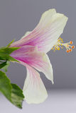 A close up macro shot of a beautiful pink and white hibiscus flo Stock Photos