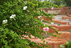 Pink and white Hibiscus flowers in same plant Stock Photos